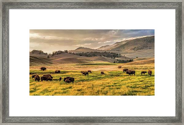 Yellowstone National Park Lamar Valley Bison Grazing Framed Print