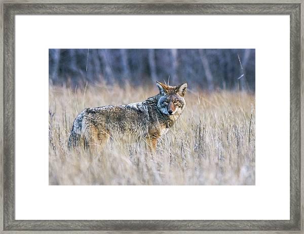 Yosemite Valley Coyote Framed Print