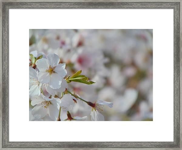 Yoshino Blooms Framed Print