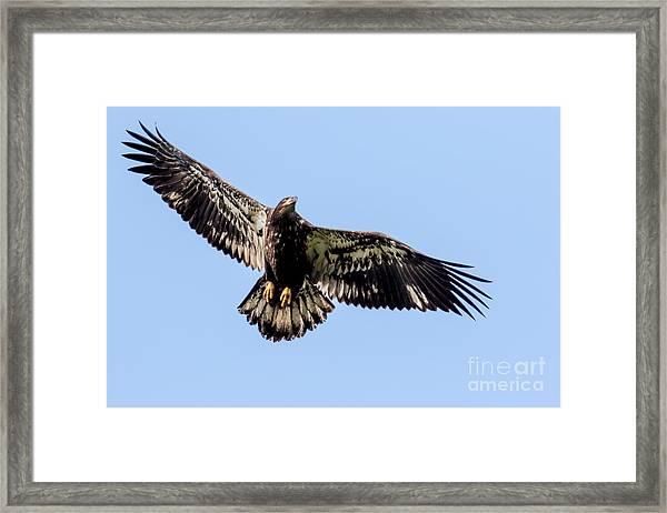 Young Bald Eagle Flight Framed Print