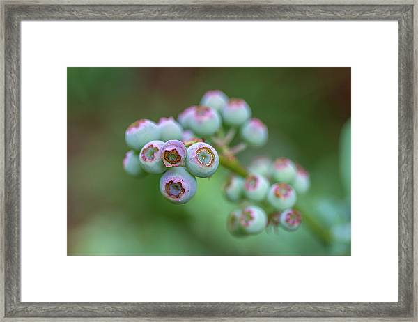 Young Blueberries Framed Print