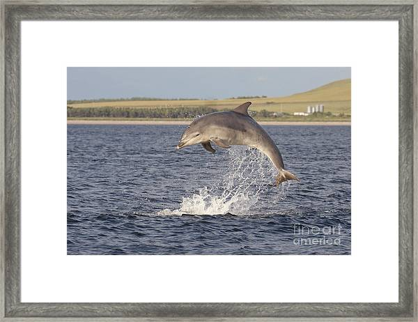Young Bottlenose Dolphin - Scotland #13 Framed Print