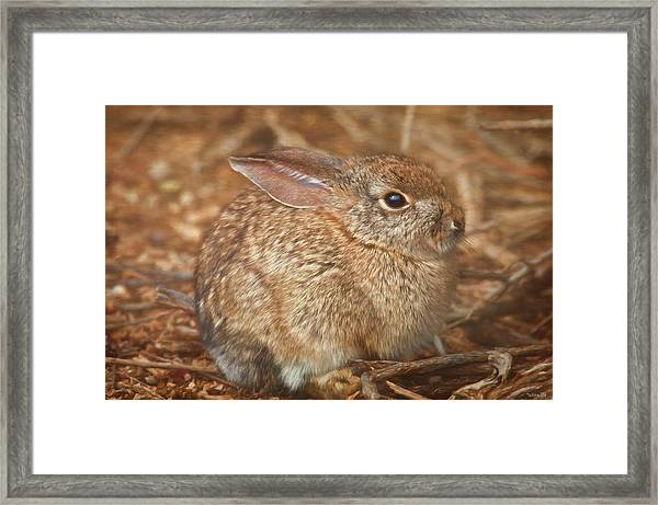 Young Cottontail In The Morning Framed Print