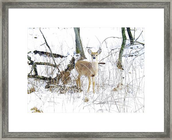 Young Doe And Spring Snow Framed Print