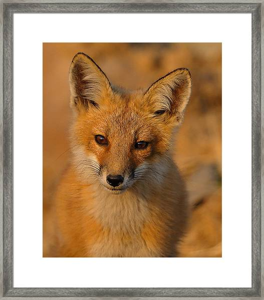 Framed Print featuring the photograph Young Fox by William Jobes