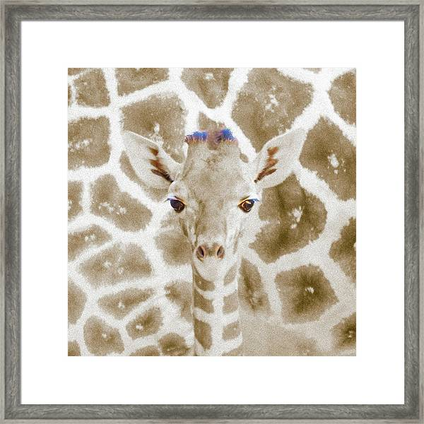 Young Giraffe Framed Print