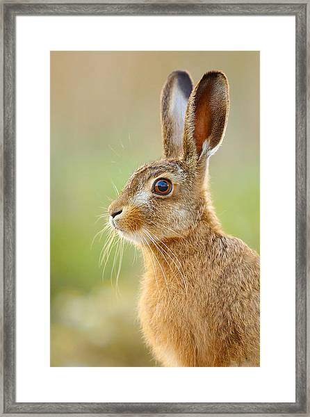 Young Hare Portrait Framed Print