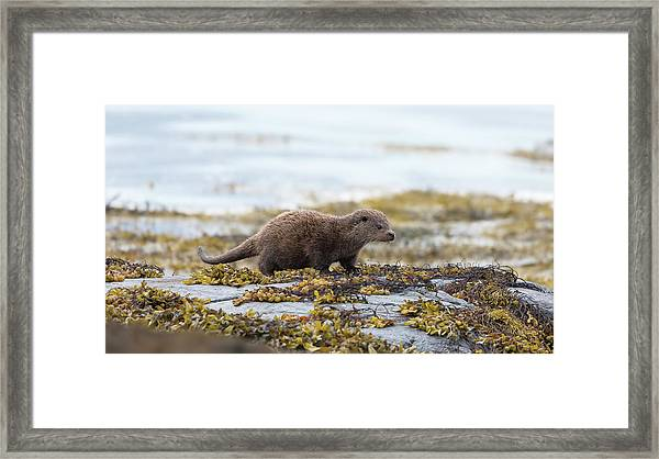 Young Otter Framed Print