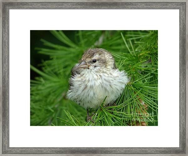 Young Pine Siskin Framed Print