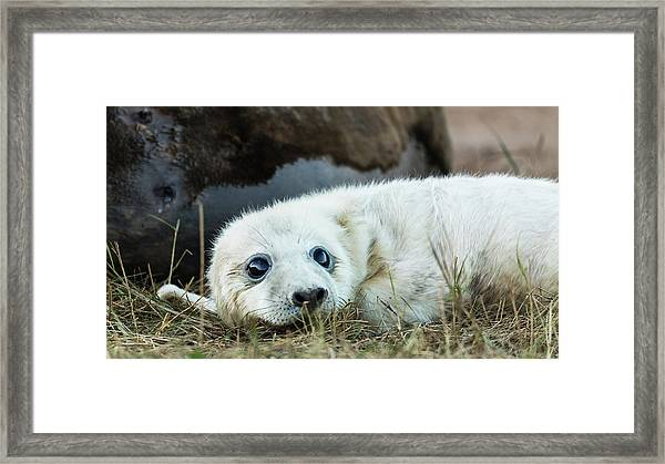 Young Pup Framed Print