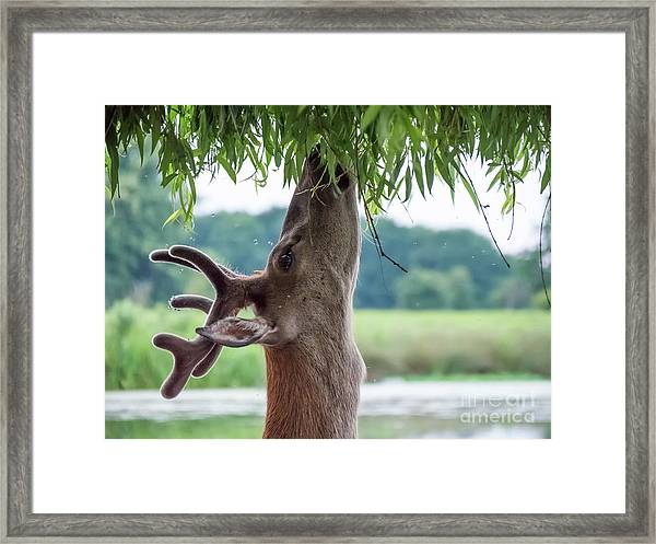 Young Red Deer Stag - Cervus Elaphus - In Velvet Antlers, Browsing Framed Print