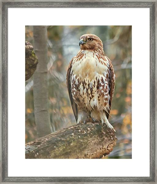 Young Red Tailed Hawk  Framed Print