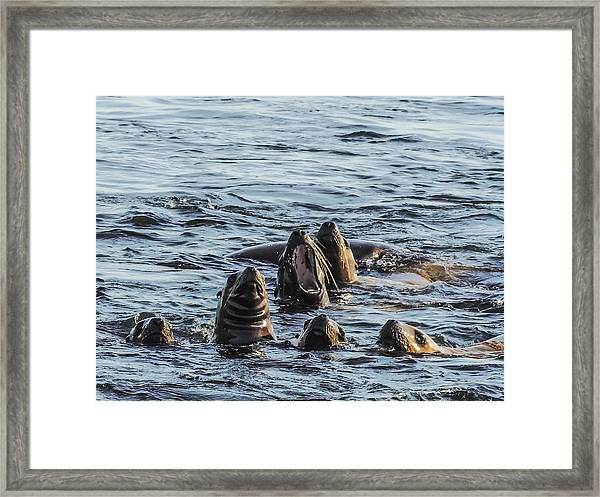 Young Sea Lions At Play Framed Print