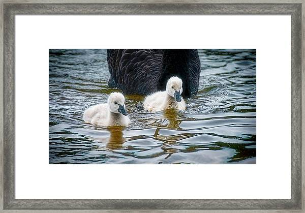Young 'uns, Black Swan Cygnets Framed Print