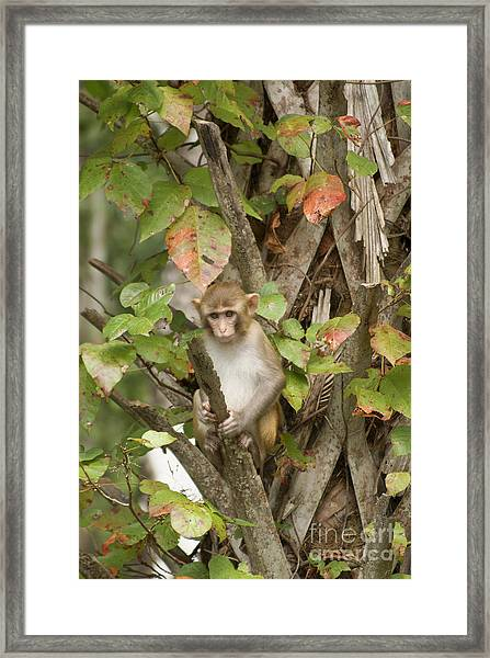 Young Wild Monkey Look Framed Print