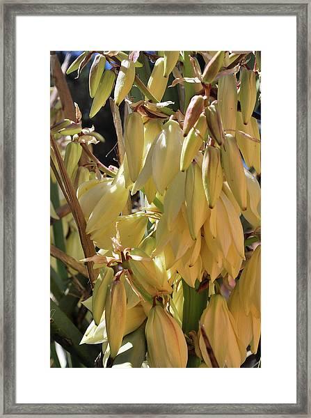 Yucca Bloom II Framed Print