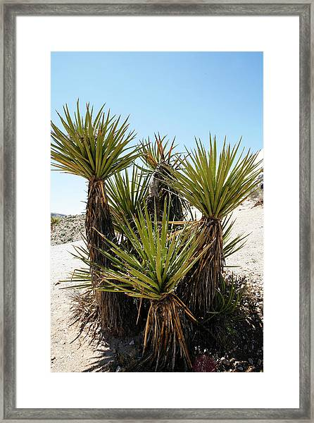 Yucca Plant Family Framed Print