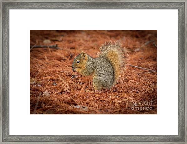 Yum Yum Nuts Wildlife Photography By Kaylyn Franks     Framed Print