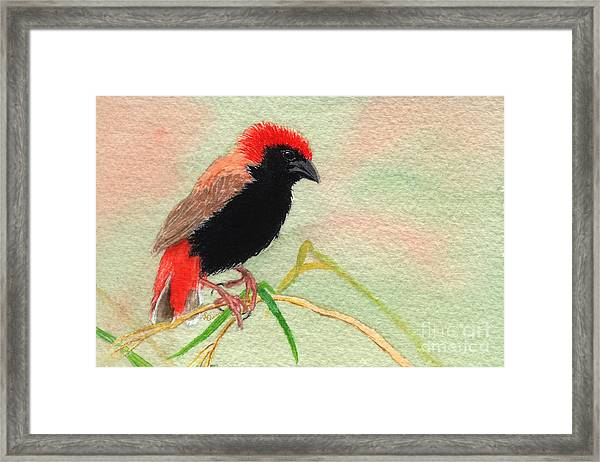 Zanzibar Red Bishop Framed Print