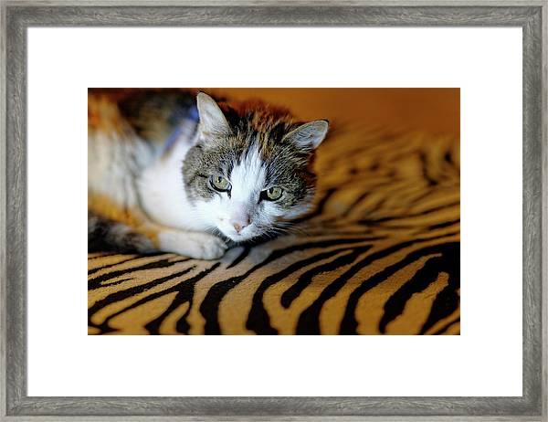 Zebra Cat Framed Print