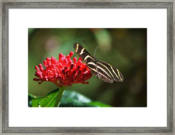 Zebra Heliconia Butterfly Framed Print