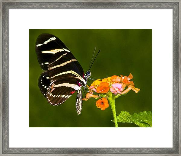 Zebra Heliconian On Milkweed Flower Framed Print by Don Durfee