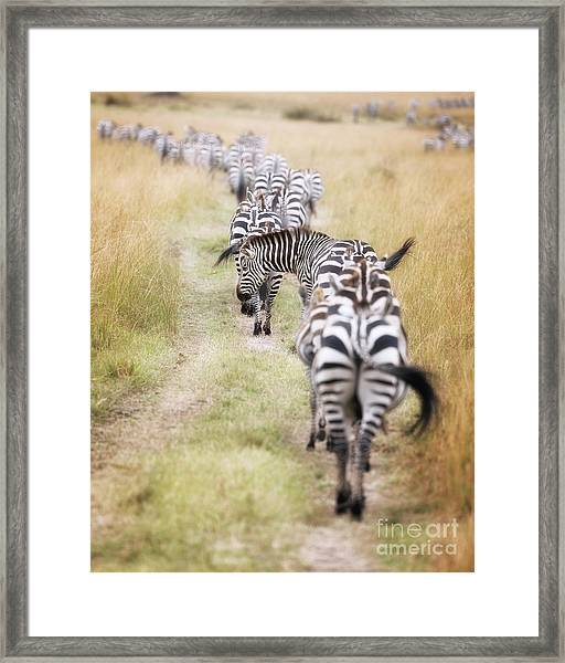 Zebra Migration In  The Masai Mara Framed Print