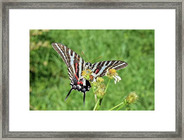 Zebra Swallowtail And Ladybug Framed Print
