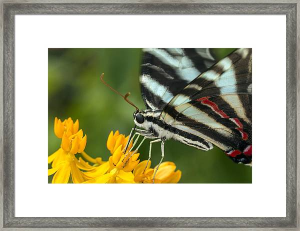 Zebra Swallowtail Drinking On The Fly Framed Print