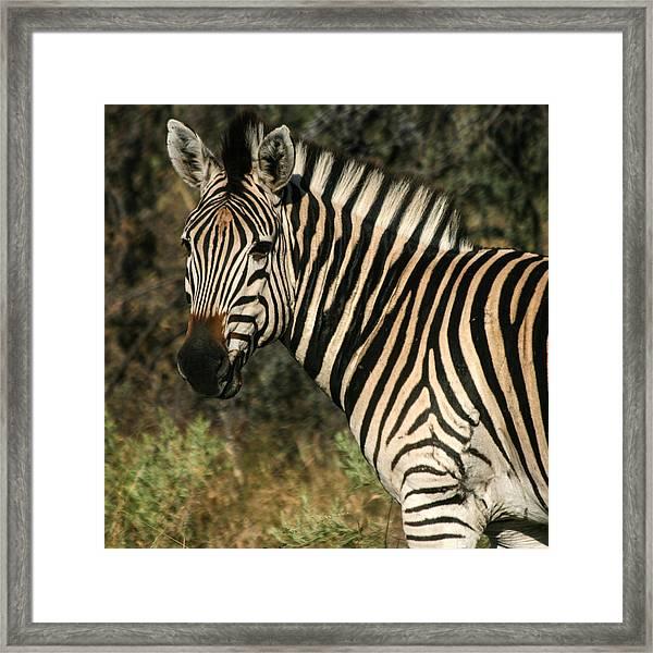 Zebra Watching Sq Framed Print