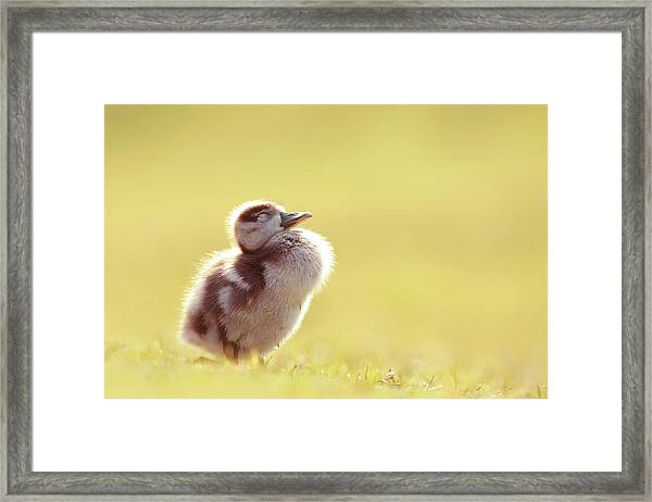 Zen Bird - Gosling Enjoying The Sun Light Framed Print