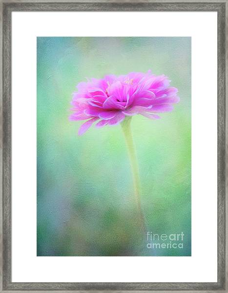 Painted Pink Zinnia Framed Print
