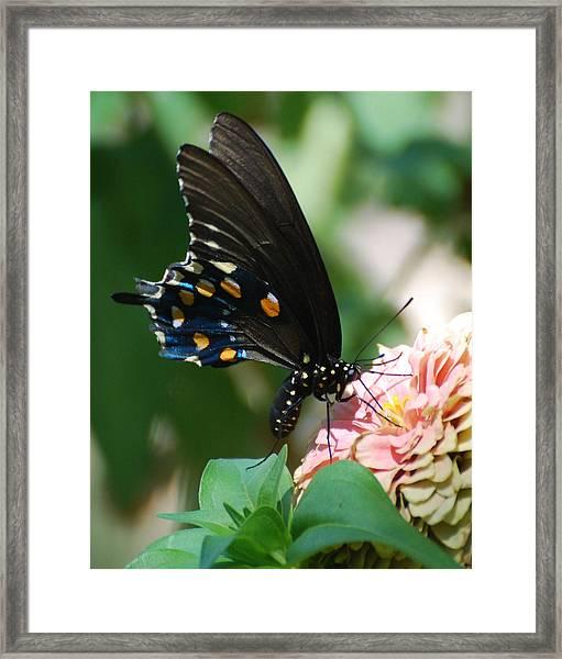 Zinnia Butterfly Framed Print