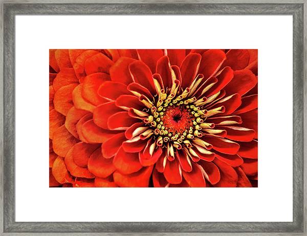 Zinnia-macro Framed Print