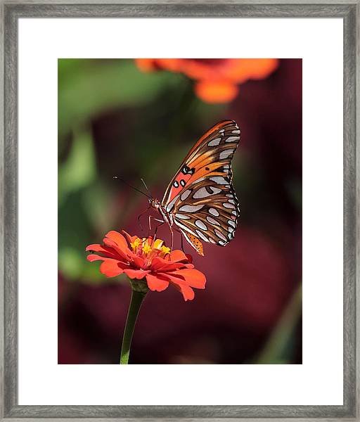 Zinnia With Butterfly 2668 Framed Print