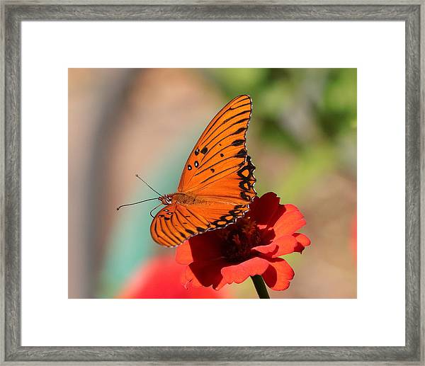 Zinnia With Butterfly 2669 Framed Print