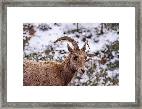 Zion Bighorn Sheep Close-up Framed Print