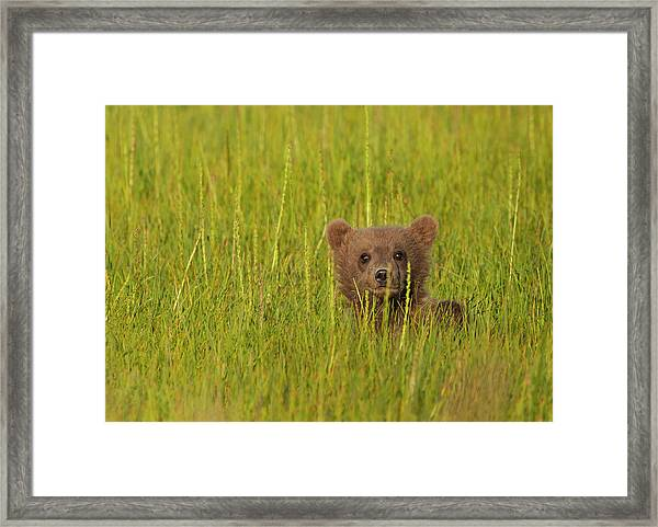 A Brown Bear Cub In The Long Grass In Framed Print by Mint Images - Art Wolfe