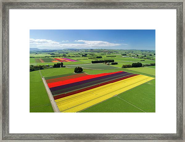 Aerial Of Colorful Tulip Fields Framed Print by David Wall