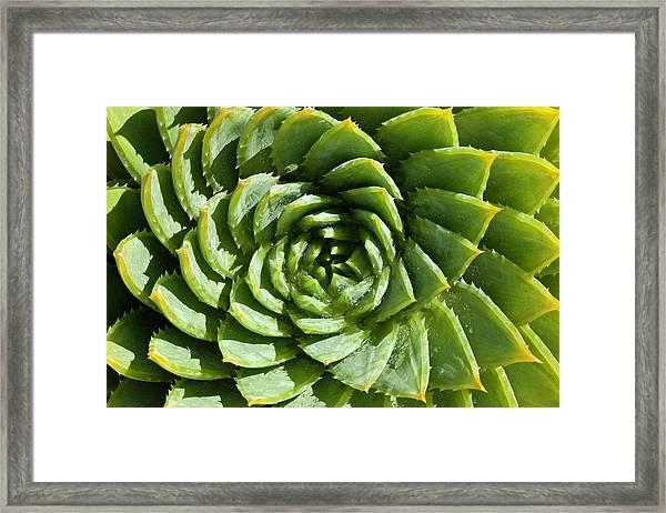 Aloe_polyphylla_8536.psd Framed Print