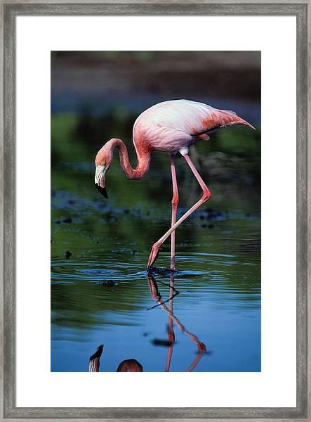American Flamingo Phoenicopterus Ruber Framed Print by Art Wolfe