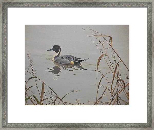Ankeny Pintail Framed Print