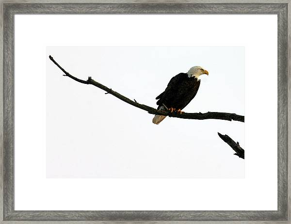 Bald Eagle 120501 Framed Print