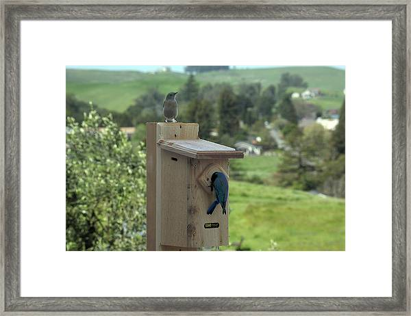 Bird House - Pair Of Western Bluebirds Framed Print by Michael Riley