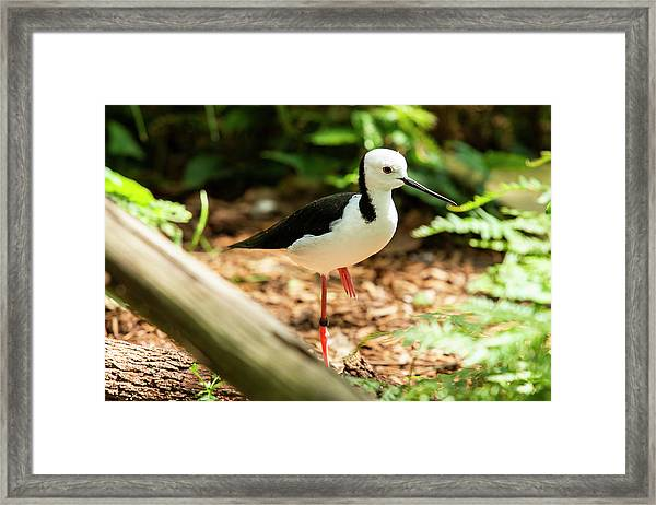 Framed Print featuring the photograph Black-winged Stilt by Rob D Imagery
