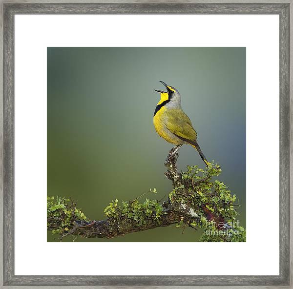 Bokmakierie Bird Calling - Telophorus Framed Print