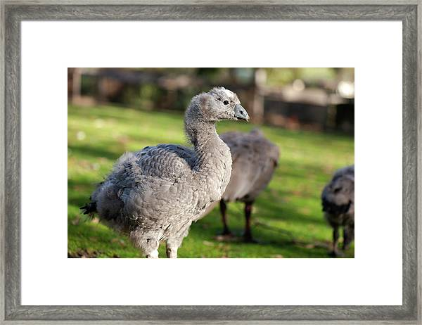 Framed Print featuring the photograph Cape Barren Goose And Geese by Rob D Imagery