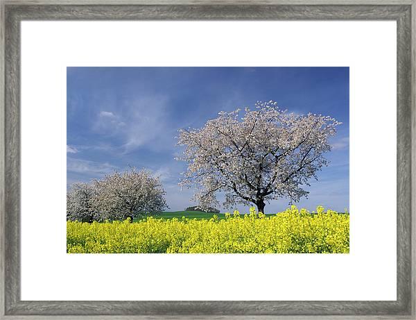 Cherry Tree In Blossom Framed Print by Cornelia Doerr