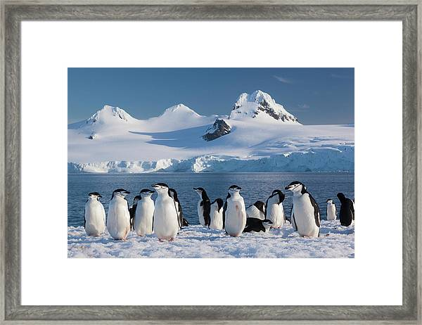 Chinstrap Penguins On Half Moon Island Framed Print by Mint Images - Art Wolfe