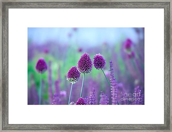 Chive Herb Flowers - Allium Framed Print